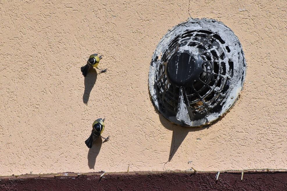 Cinegék a falon meghazudtolják a gravitációt